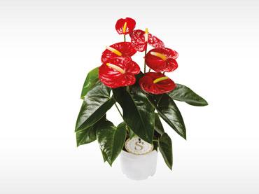 Cvetoče