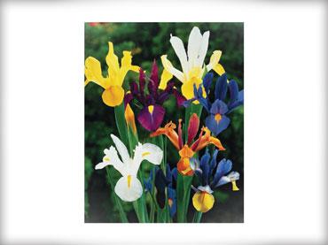 Čebulice - cvetoče pomladi