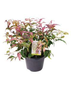 GRM PHOTINIA FRASERI LITTLE RED ROBIN