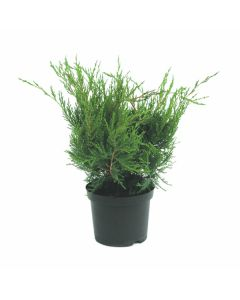 IGLAVEC JUNIPERUS MEDIA MINT JULEP 2 L 25-30
