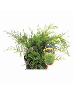 IGLAVEC JUNIPERUS MEDIA OLD GOLD ŠIROKORASTOČ 2L 25-30 CM
