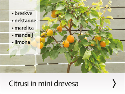 Citrusi in mini drevesa